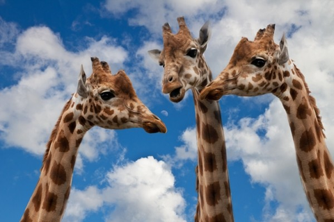 giraffes-entertainment-discussion-height-talk
