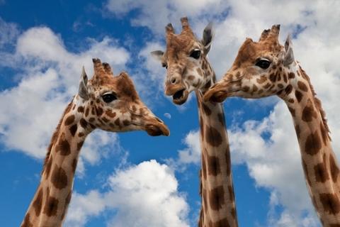 giraffes-entertainment-discussion-height-talk